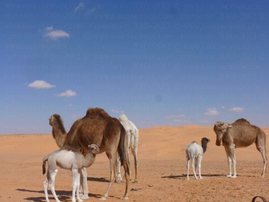 troupeau_dromadaires_nomades_desert_sahara_tunisie